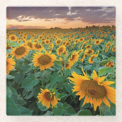 Sunflower Field in Longmont, Colorado Glass Coaster