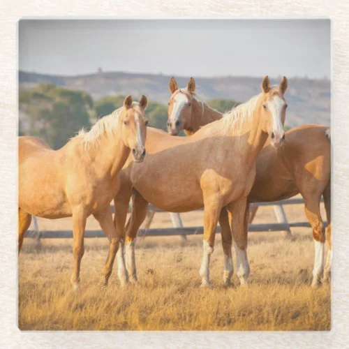 Three Palomino Ponies Glass Coaster